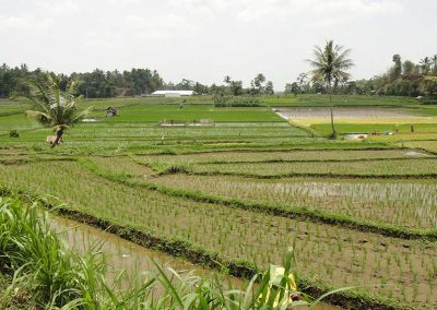 rice-field-3